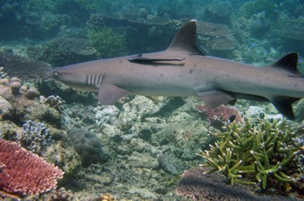 Tubbataha Shark, photo by Simon Hefti